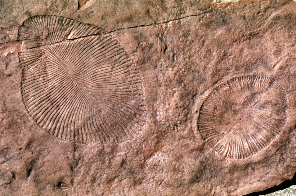Fossielen van twee Ediacarische biota.