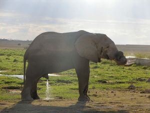 Een urinerende olifant