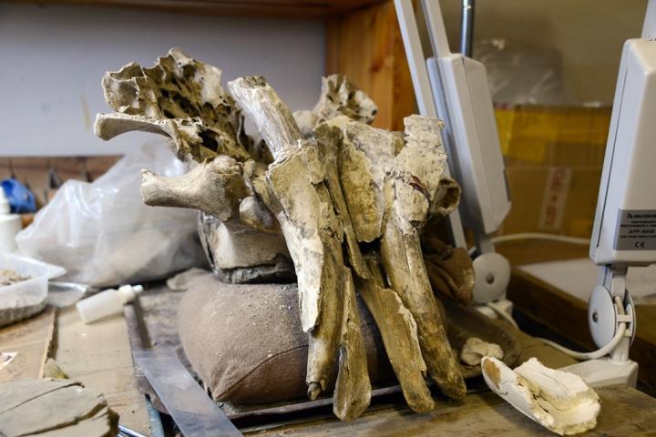 Fragmenten van de schedel van een kalf. Afbeelding: © TSU.