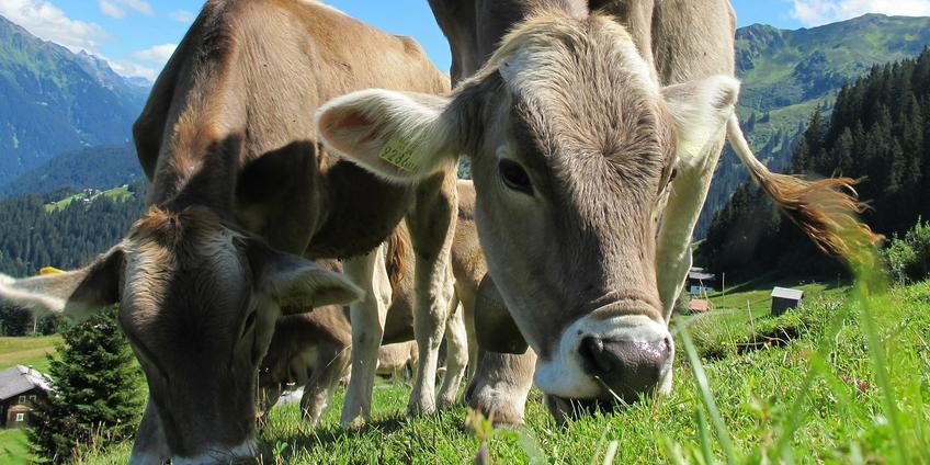 Dragen moderne dieren zoals koeien dan geen steentje bij aan de verspreiding van voedingsstoffen? Dat valt vies tegen, omdat zij vaak in afgesloten weides te vinden zijn.