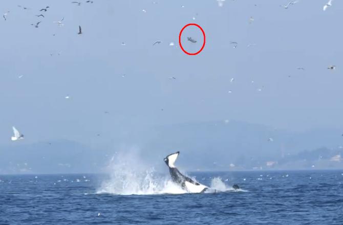 orka-zeehond