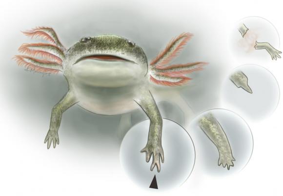 Hier zie je een amfibie dat gedurende het Perm leefde. Aan de fossiele resten van dit organisme is te zien dat het een ledemaat regenereerde. Het nieuwe ledemaat is namelijk ietsje anders dan het ledemaat dat het organisme in eerste instantie bezat. Afbeelding: Kalliopi Monoyios.