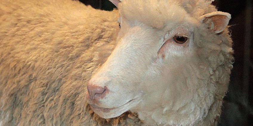 Dolly, het schaap. Afbeelding: Toni Barros (via Wikimedia Commons).