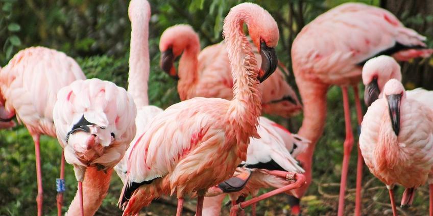 Flamingo's: in werkelijkheid helemaal niet zo roze.