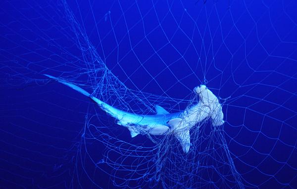 De geschulpte hamerhaai is één van de soorten waarop gejaagd wordt vanwege zijn vinnen. De soort staat inmiddels te boek als 'bedreigd'. Afbeelding: Seawatch.