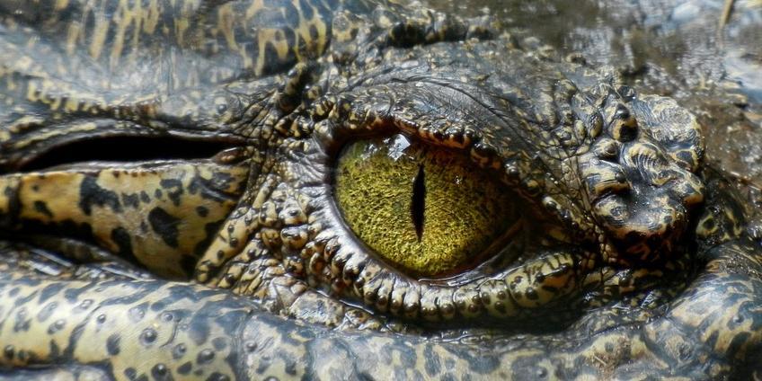 Een close-up van een krokodil.