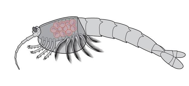 Op deze tekening is goed te zien waar de eitjes zich bevonden. Afbeelding: Royal Ontario Museum.