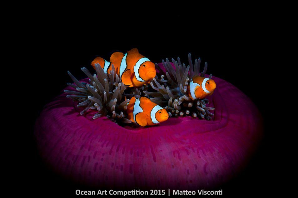 Drie clownsvissen in het koraal. Matteo Visconti fotografeerde het trio voor de kust van Papua Nieuw-Guinea.