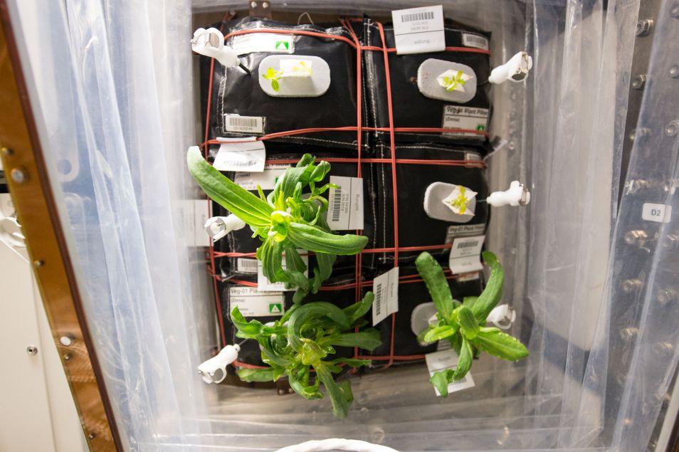 Hier zie je de kussentjes waar de zinnia's uit groeien. Afbeelding: NASA.