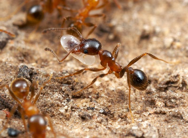 Deze mier zorgt voor een larve. Afbeelding: Boston University.