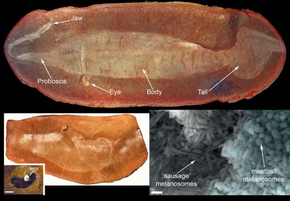Fossiel van een Tullimonstrum. De melanosomen (in de vorm van 'gehaktballen' en 'worstjes') zijn duidelijk zichtbaar op de foto rechtsonder.