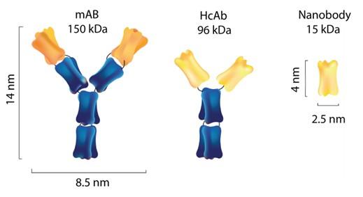 De structuur van een antilichaam (links) en van een nanobody (rechts). Nm staat voor nanometer, gelijk aan één miljoenste milimeter. Bron: Heukers en collega's, 2015. Nanomedicine.