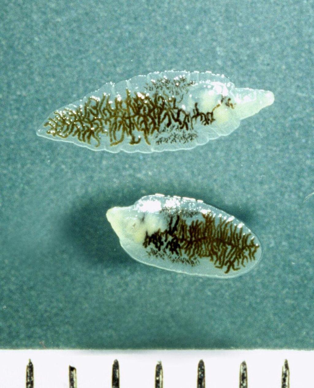 Dicrocoelium dendriticum. Afbeelding: Alan R Walker (via Wikimedia Commons).