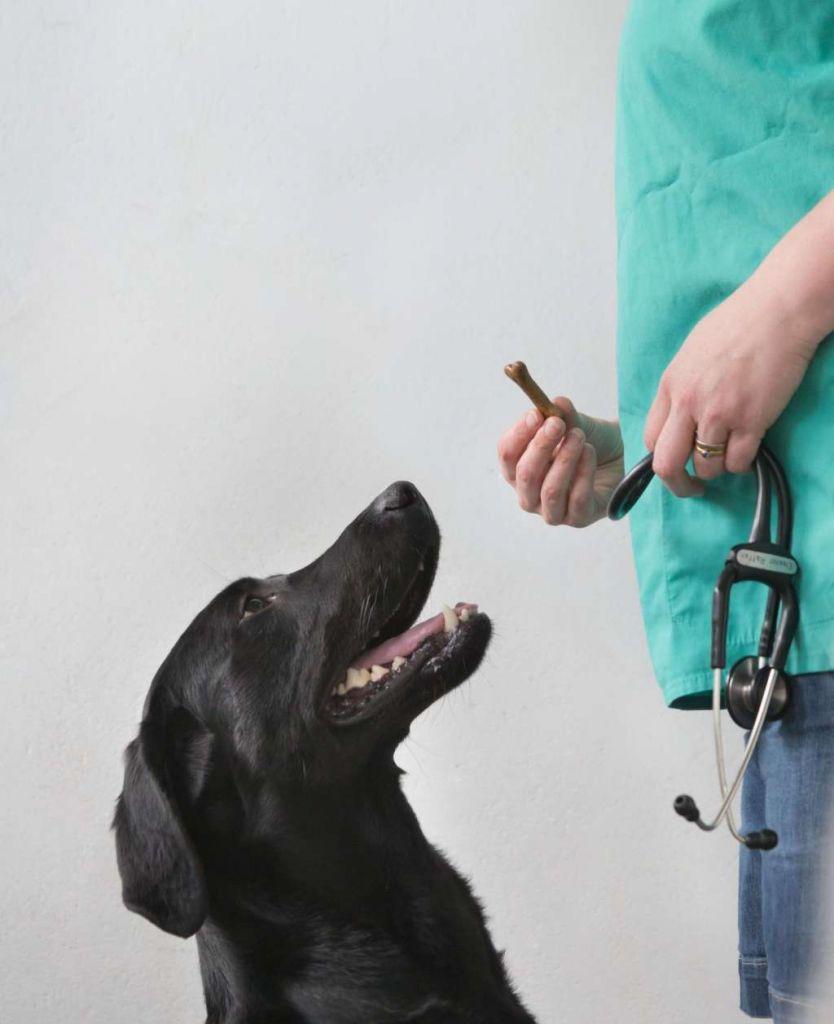 Een labrador retriever. Afbeelding: Jane Goodall.