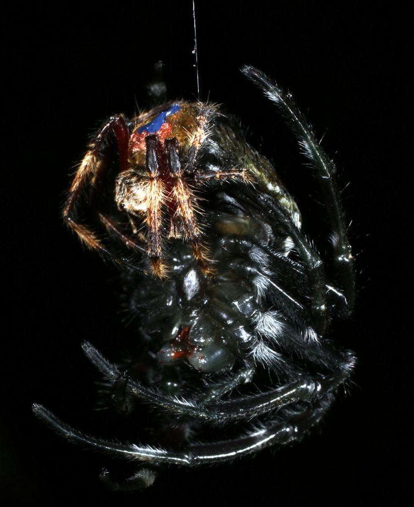 Een mannetje heeft seks met een vrouwtje dat aan het vervellen - en dus weerloos - is. Afbeelding: Evolutionary Zoology Lab.