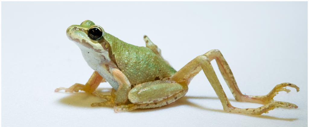 Een kikkertje met meer ledematen dan normaal dankzij de parasiet Ribeiroia ondatrae. Afbeelding: Brett A. Goodman / Pieter T. J. Johnson (via Wikimedia Commons).