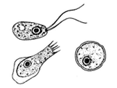 Verschillende verschijningsvormen van Naegleria fowleri. Helemaal rechts de cyste, daarnaast de verschijningsvorm die hoort bij het trophozoïete stadium. Afbeelding: Josh Grosse / CDC.