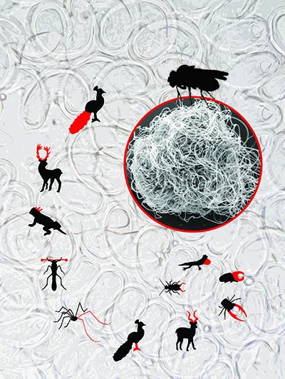 Hier zie je verschillende 'extreme' versieringen die mannetjes ontwikkeld hebben om vrouwtjes voor zich te winnen en nageslacht op aarde te kunnen zetten. De omvang van de dieren geeft aan in welke mate de evolutie een voorkeur heeft voor elke 'versiering'. Het sperma van de fruitvlieg spant echt de kroon. Afbeelding: Scott Pitnick.