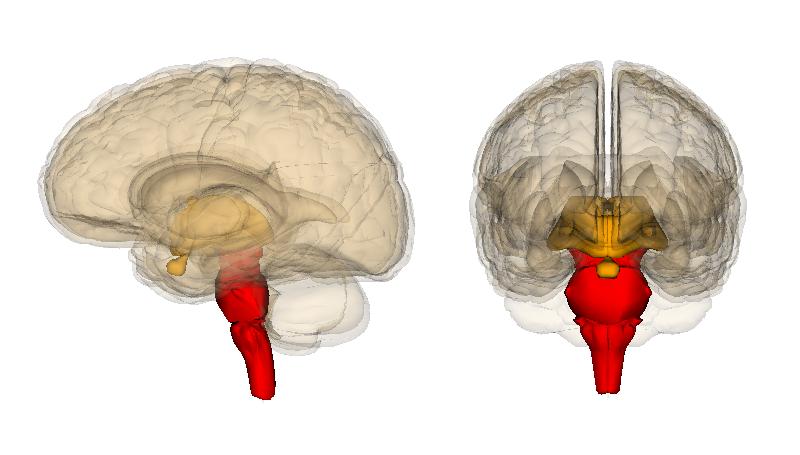 In het rood de zeer primitieve hersenstam. Afbeelding: Life Science Databases (LSDB) (via Wikimedia Commons).