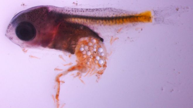 Deze larve heeft veel microplastics gesnoept.