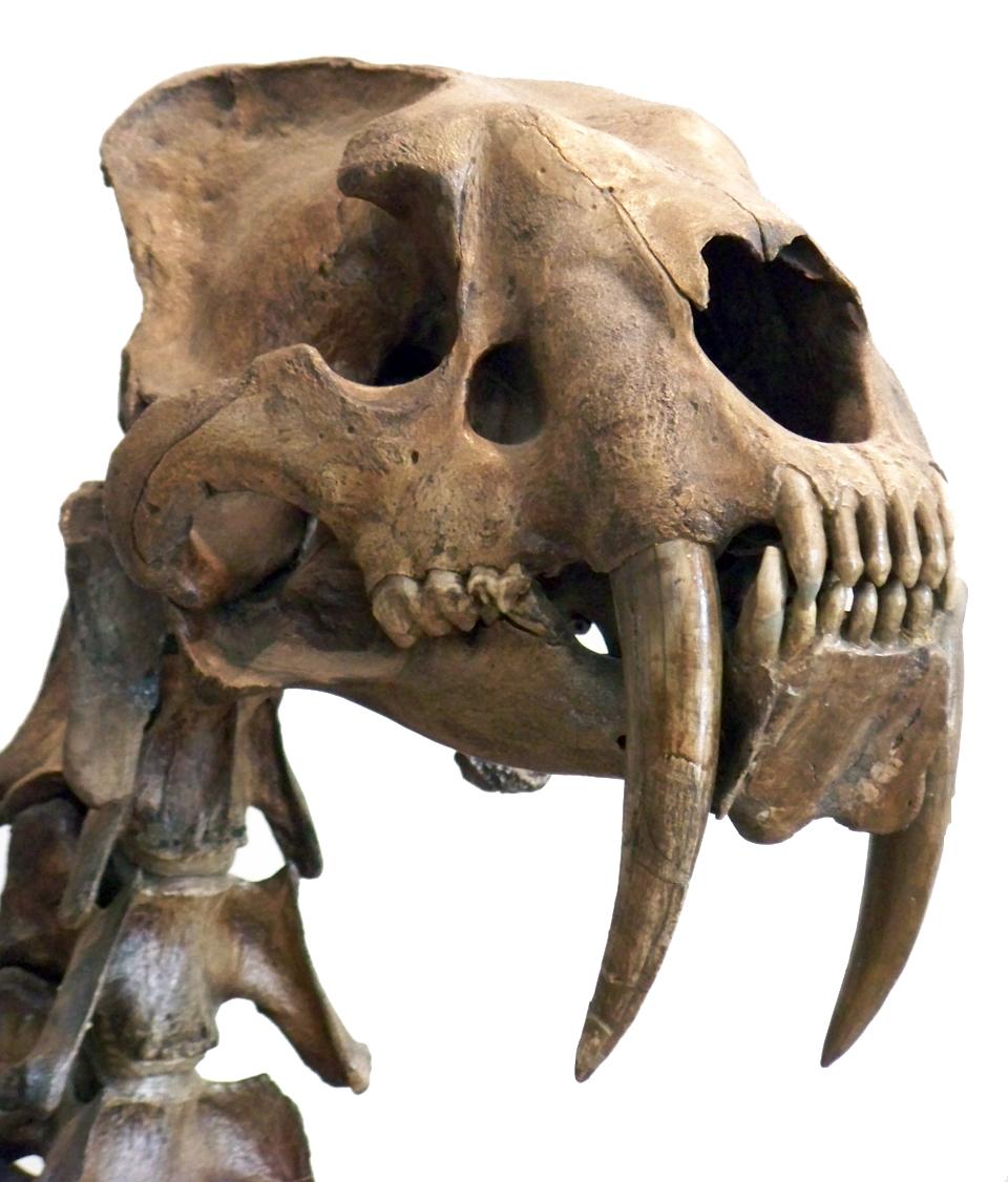 Een schedel van een sabeltandkat. Afbeelding: Wallace63 (via Wikimedia Commons).