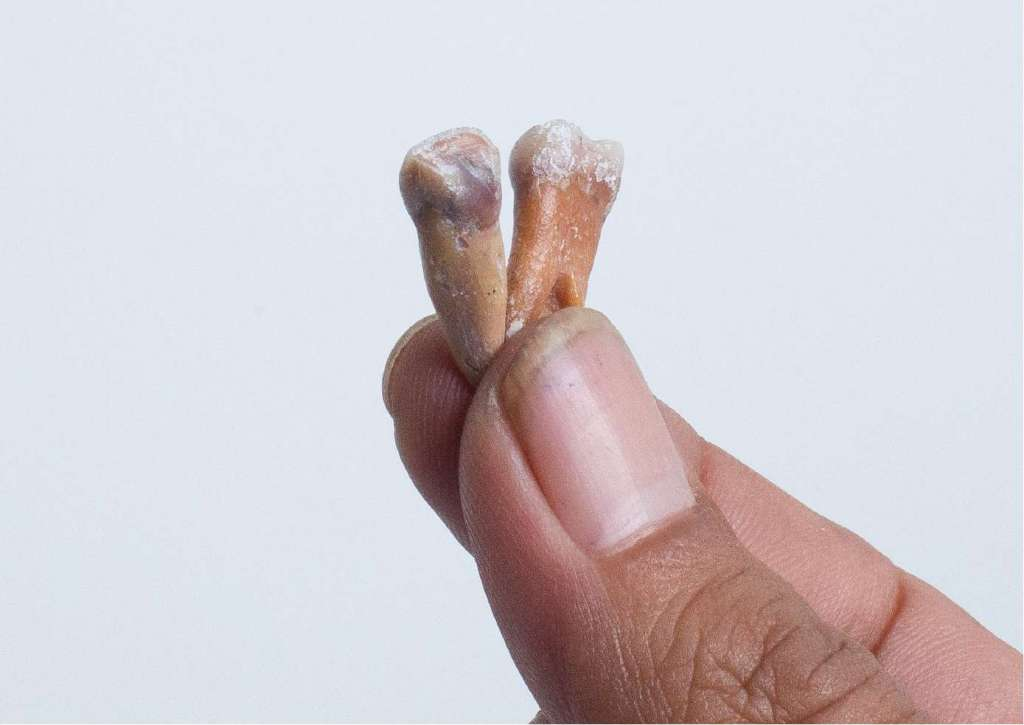 De tanden van de mensachtigen die nu op Flores zijn ontdekt. Afbeelding: Kinez Riza.