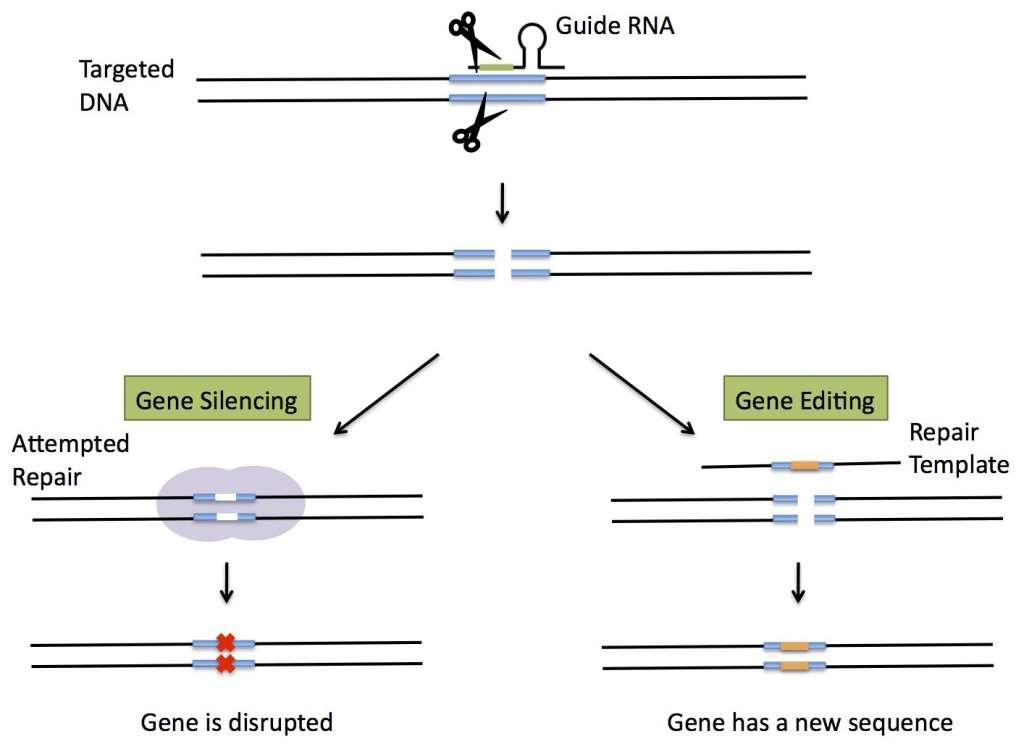 Deze afbeelding laat de twee mogelijkheden van CRISPR zien: een gen het zwijgen opleggen of een gen 'verbeteren'. Afbeelding: Harvard University.