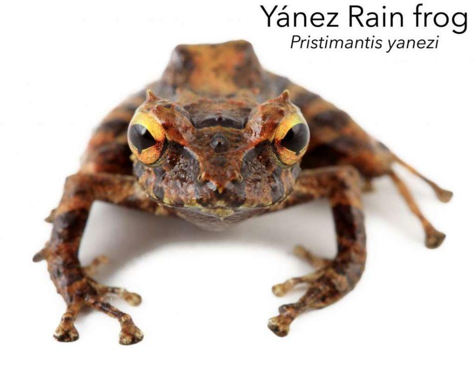 yanezi-1