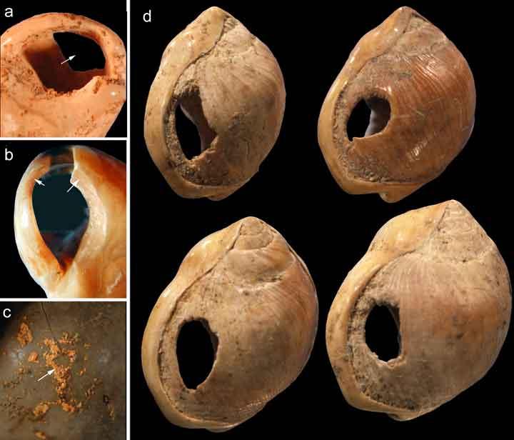Deze schelpen zijn teruggevonden in de Blombos-grot en stammen uit de Middle Stone Age. In de schelpen zijn gaatjes gemaakt. Mogelijk vormden ze een halssierraad (oftewel een persoonlijk ornament). Afbeelding: Chris Henshilwood.