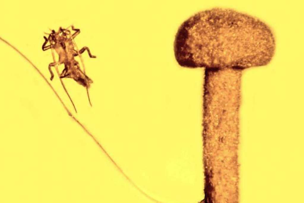 In het stukje barnsteen zitten een paddestoel, het exoskelet van een wandelende tak-achtig insect en een haar van een knaagdier. Zowel het insect als de paddestoel zijn vandaag de dag uitgestorven. Afbeelding: George Poinar, Jr / Oregon State University.