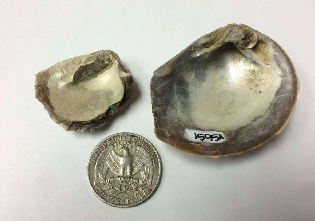 Het is moeilijk voor te stellen dat deze gefossiliseerde resten van weekdieren zijn die meer dan 66 miljoen jaar geleden leefden. Afbeelding: Sierra V. Petersen.