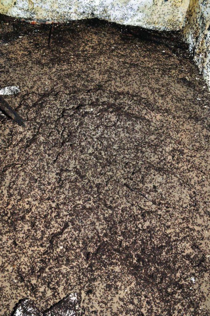 Een close-up van de mierenkolonie die zich boven de ventilatiepijp bevindt. Afbeelding: Wojciech Stephan.