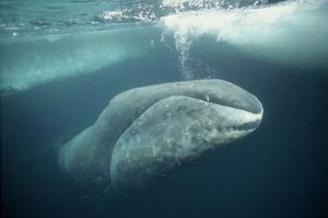 Groenlandse walvis