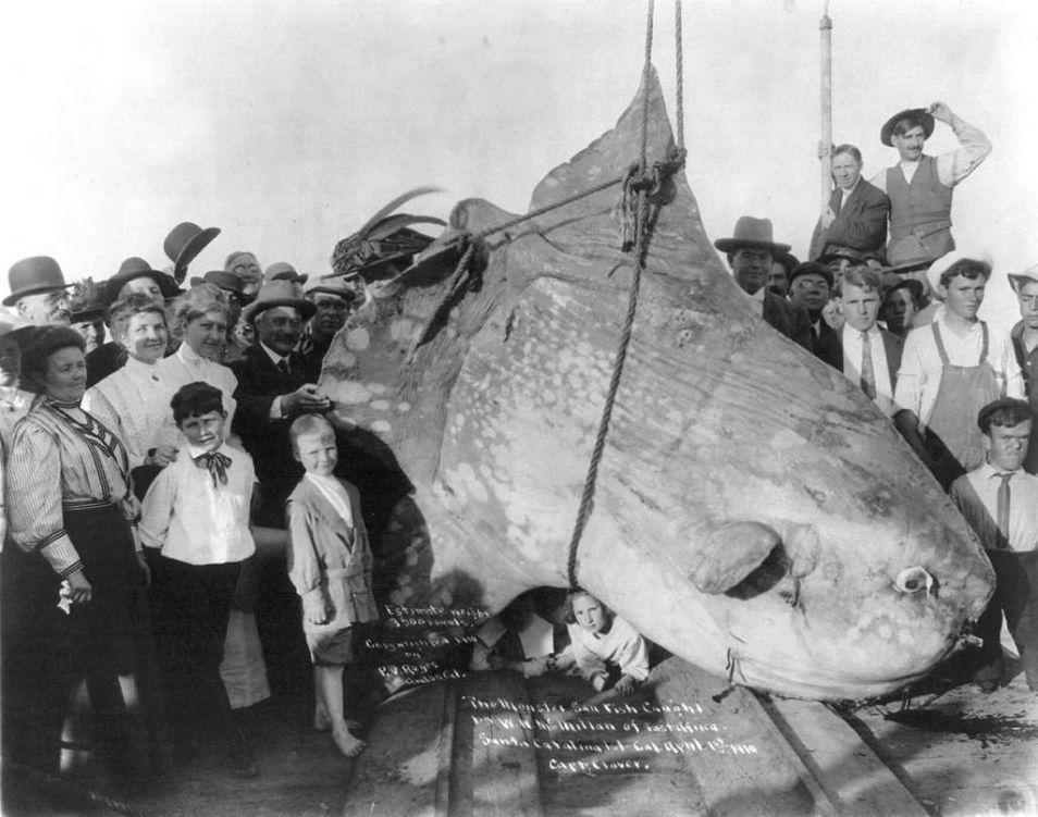 De foto - uit 1910 - laat goed zien hoe groot de maanvis kan worden. Dit exemplaar werd gevangen voor de kust van Santa Catalina Island. Afbeelding: P.V. Reyes of Avalon (via Wikimedia Commons).