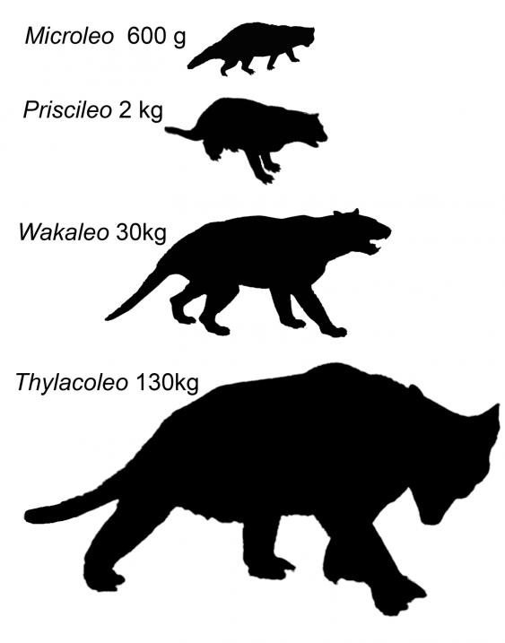 Vergelijking tussen de Microleo en de Thylacoleo.