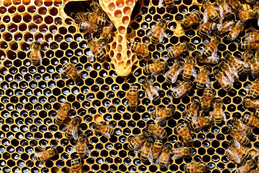 Het uitsterven van de honingbij zou een ramp zijn.