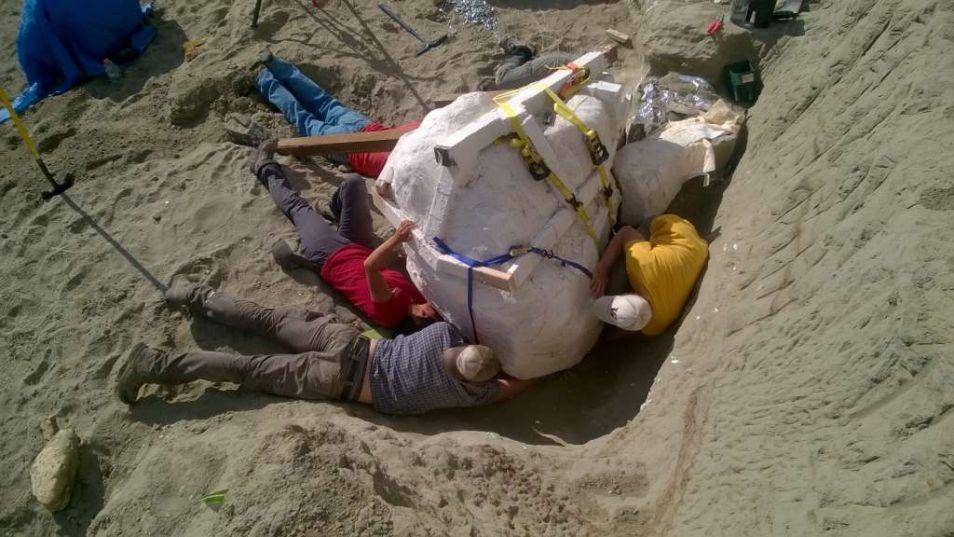 De schedel van de T. rex wordt opgegraven door de vrijwilligers.