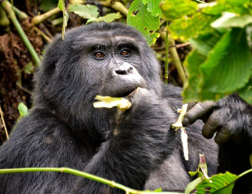 Een berggorilla, één van de subsoorten van de oostelijke gorilla. Afbeelding: Rod Waddington (via Wikimedia Commons).