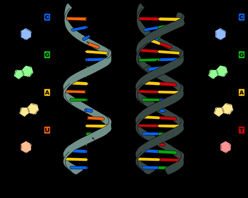 Links: RNA. Rechts: DNA. Afbeelding: Sponk (via Wikimedia Commons).
