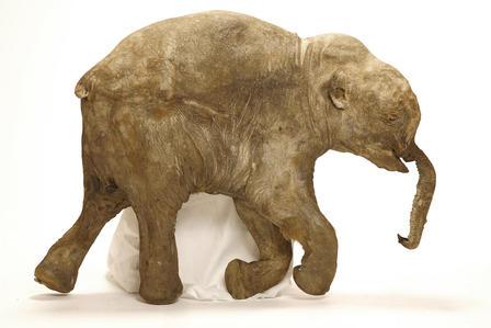 Lyuba: een voorbeeld van een mammoet die uitstekend bewaard is gebleven. Er zat zelfs nog voedsel in de maag van deze meer dan 40.000 jaar oude mammoet. Afbeelding: Francis Latreille.