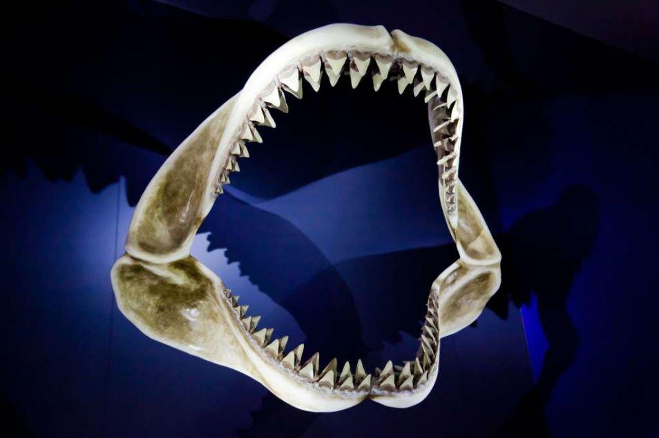 De witte haai heeft een brede bek met karakteristieke driehoekige tanden waarmee hij gemakkelijk zijn prooi vermorzeld. Hij kan wel drie tot vier rijen tanden hebben die altijd scherp zijn doordat ze regelmatig worden vervangen.