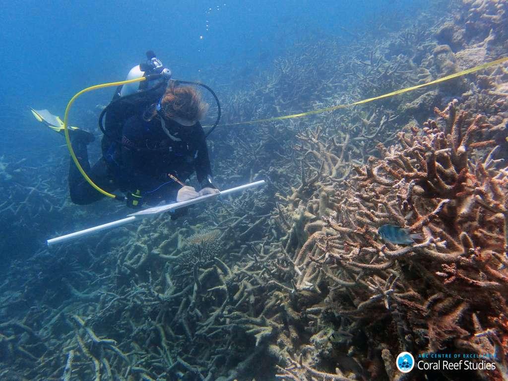 Een onderzoeker buigt zich over dood koraal nabij Lizard Island. Afbeelding: Greg Torda.