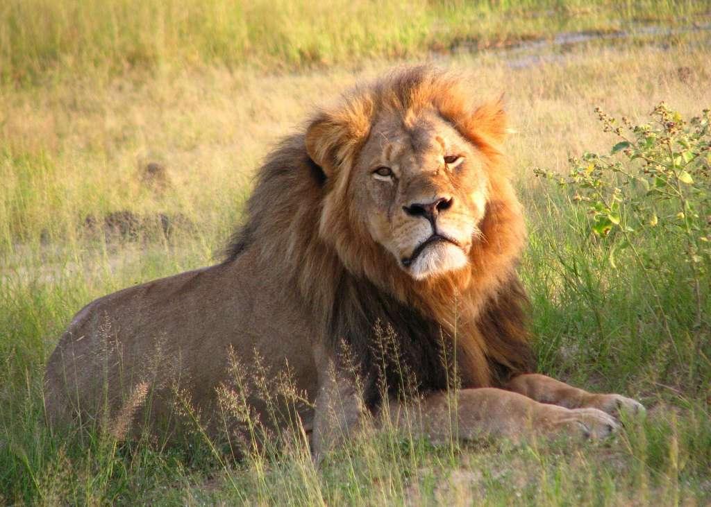 Cecil de leeuw werd in 2015 door een Amerikaanse tandarts doodgeschoten. De tandarts zou daar 50.000 dollar voor hebben betaald. Afbeelding: Daughter3 (via Wikimedia Commons).