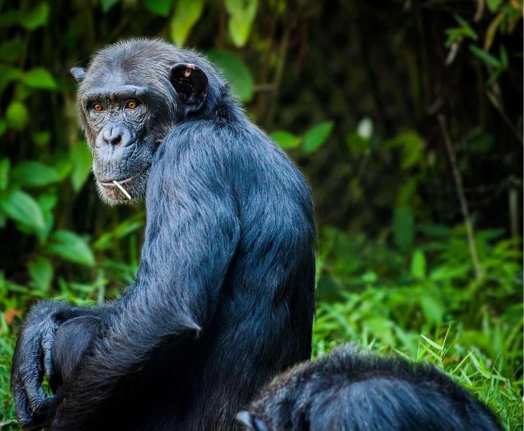 Een chimpansee.