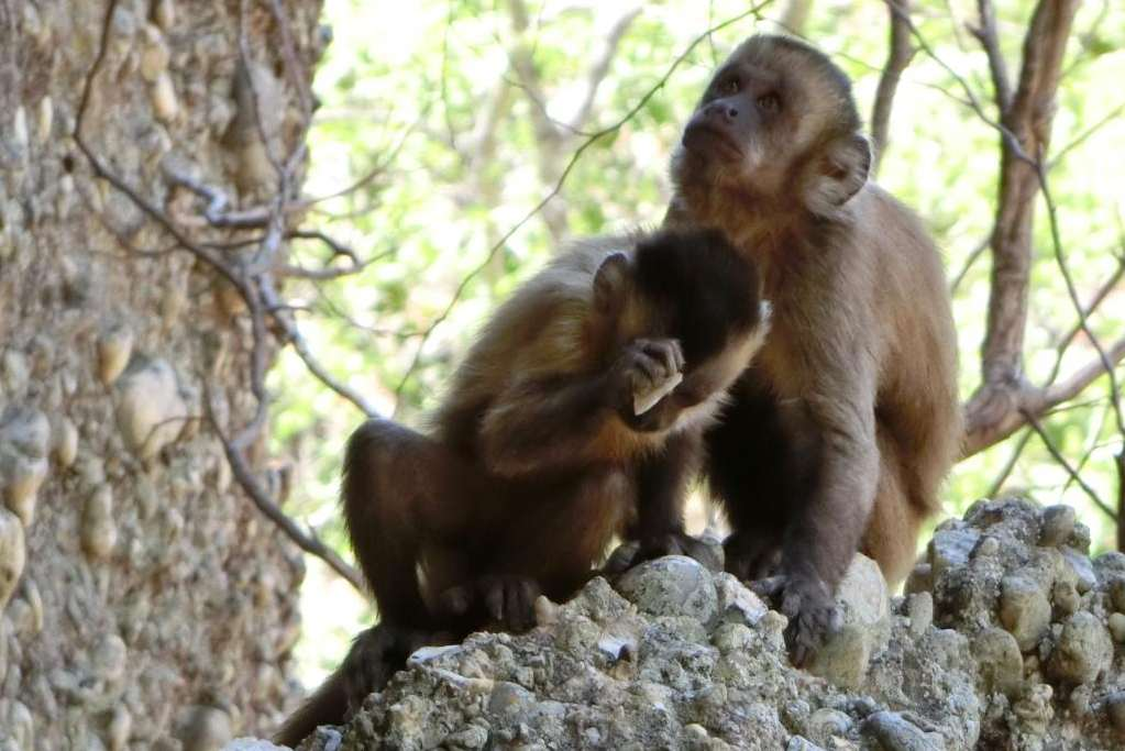 Kapucijnapen in Brazilië maken - onbewust - afgeslagen stukken steen die geschikt zijn om te snijden of schrapen. De apen gebruikten de afgeslagen stenen overigens nooit voor die doeleinden. Afbeelding: Michael Haslaw / Primate Archaeology Group.