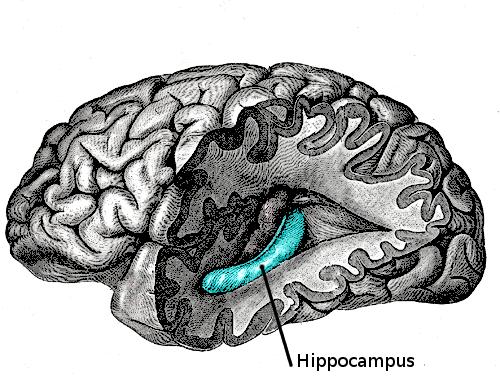 De hippocampus