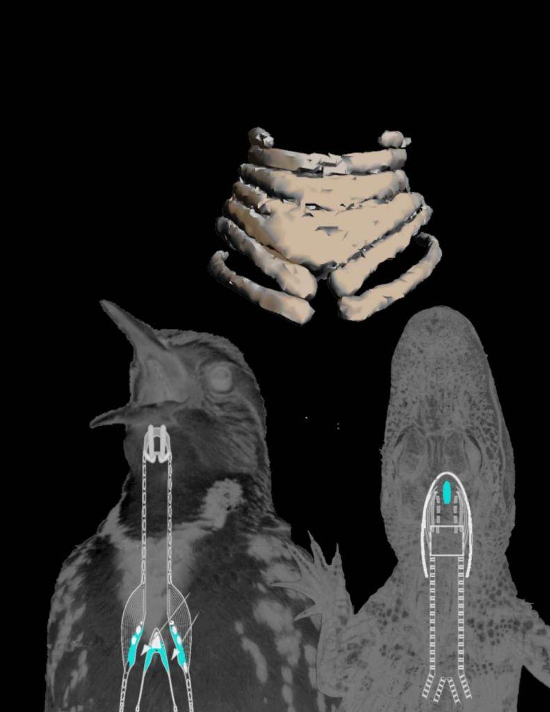 De syrinx bestaat uit kraakstenen ringen die zacht weefsel ondersteunen. Liedjes van vogels ontstaan doordat het zachte weefsel gaat vibreren. Afbeelding: J. Clarke / UT Austin.