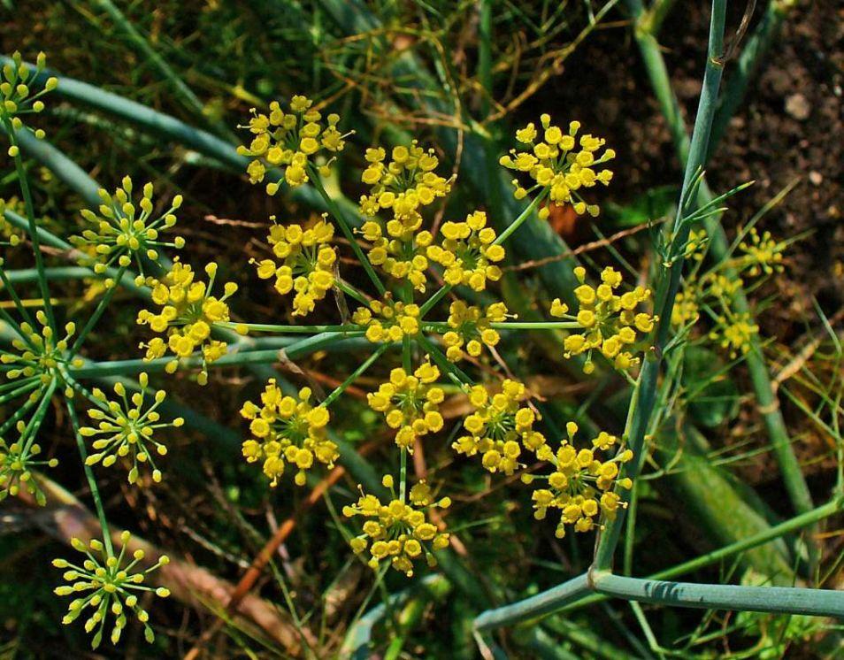 Een venkelplant in bloei. Afbeelding: H. Zell (via Wikimedia Commons).