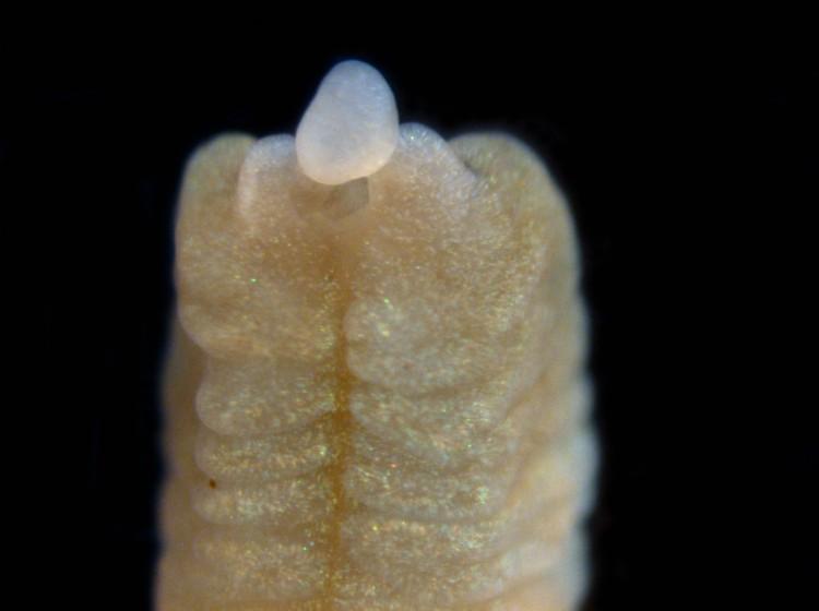 Vijf dagen nadat de worm doormidden is gesneden, begint zich al een hoofd - inclusief mond - te vormen. Afbeelding: Shawn Luttrell / University of Washington.
