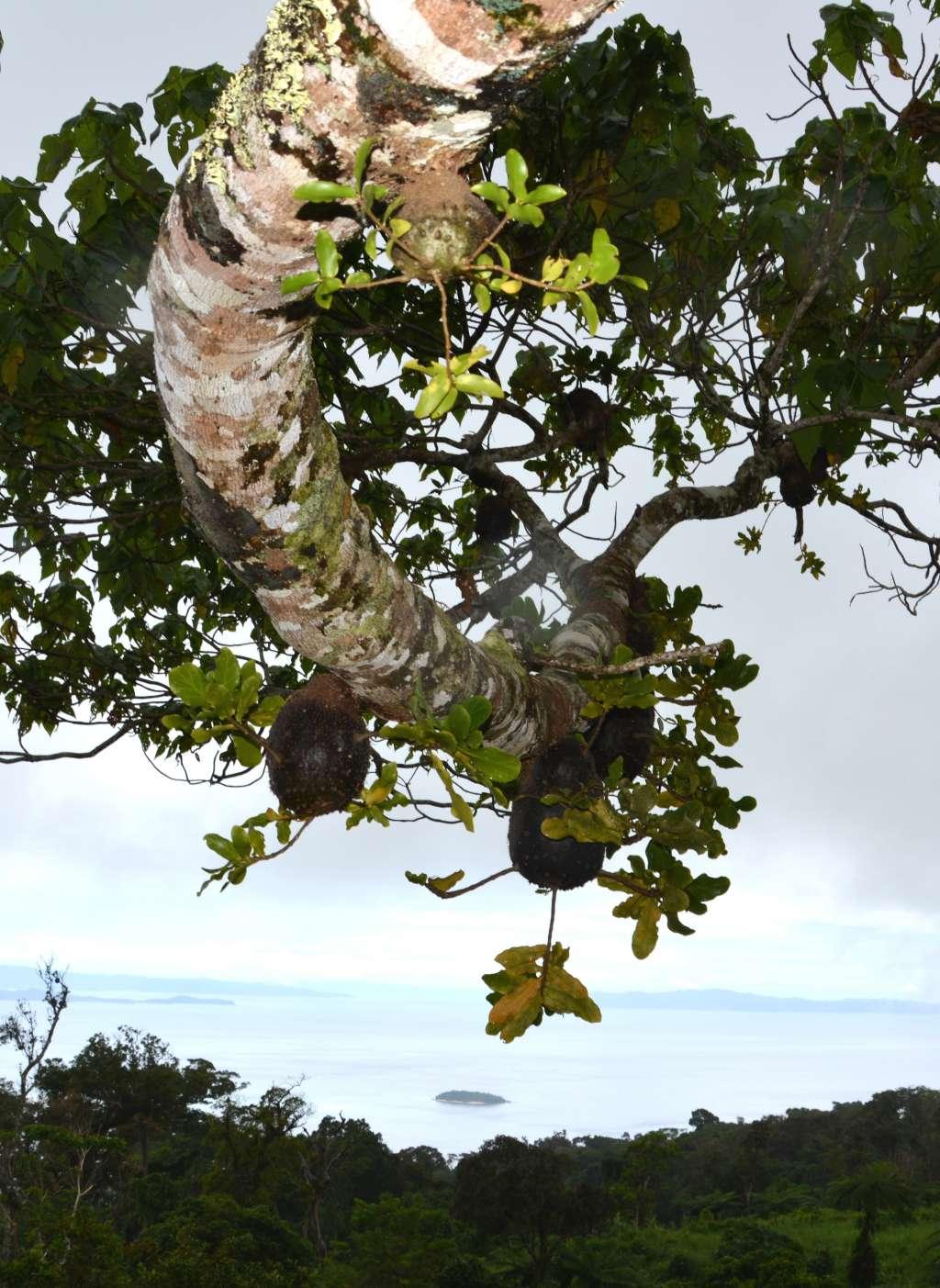 Hier zie je een boom waarin de mieren 'tuinieren'. De mooie kamertjes die de door hen gecultiveerde planten creëren, zijn goed zichtbaar. Afbeelding: Guillaume Chomicki.